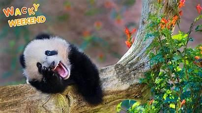 Panda Funny Animal Faces Giant Weekend Surprised