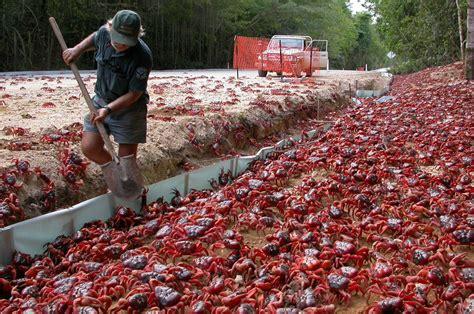 rescuing  red crabs  christmas island news la trobe
