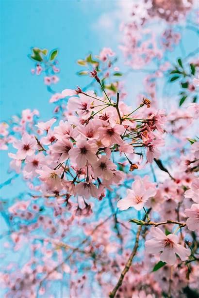 Blossom Cherry Sakura Wallpapers Aesthetic Spring Blossoms