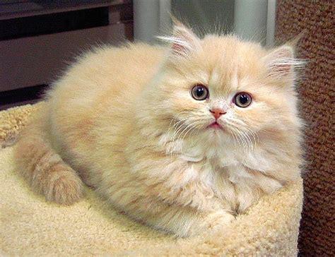 simak  memilih kucing persia peaknose
