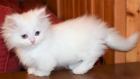 Munchkin Cat (the Definitive Guide) Personality, Care, Size