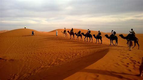 camels  caravan desert hd animals  wallpapers