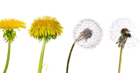 Dandelions Beautiful Wildflower Or Scourge Of Lawns Everywhere?  Tattoo Pinterest