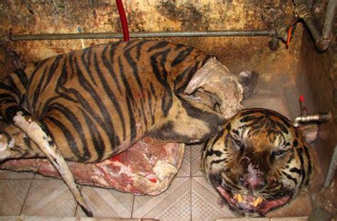 dead tigers   boot  speeding car  vietnam