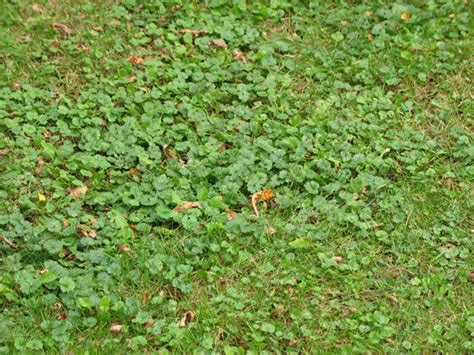 how to get rid of creeping naturally is this plant a weed garden university of minnesota extension