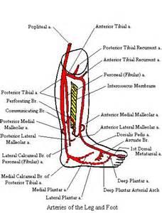 Leg and Foot Arteries