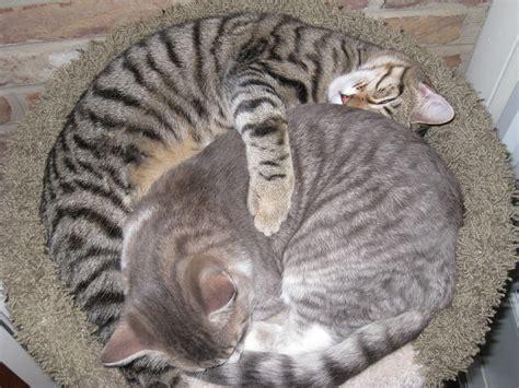 Gray tiger cat - shocking price