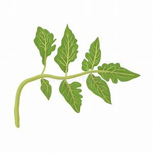 Feuille De Tomate : feuille de tomate sur le blanc illustration de vecteur ~ Melissatoandfro.com Idées de Décoration