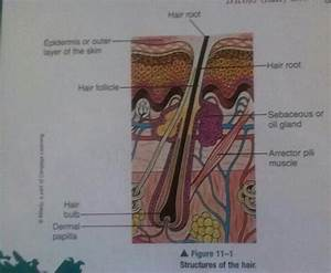 Ch  11 Properties Of Hair And Scalp Key Terms At Marinello