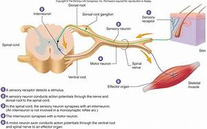 The Spinal Cord  The Spinal Cord Reflex Arc