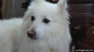 buddy aka pogo american eskimo dog standard dog breeds