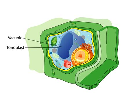 File Plant Cell Structure Svg Vacuole Wikimedia Commons