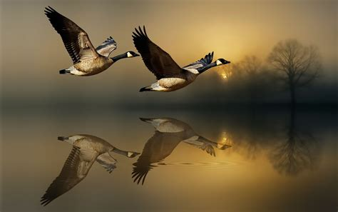 reflections geese  fine art reflections animal