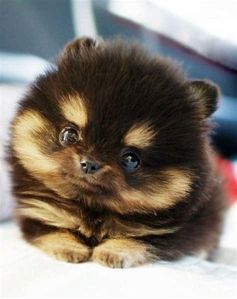 pomsky puppy pouted