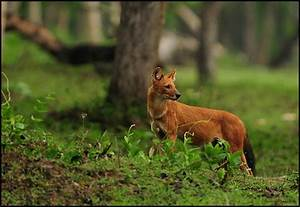 Indian Wild Dog | The dhole (Cuon alpinus), also called ...