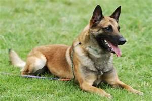 Police Dog Breeds Belgian Malinois | www.pixshark.com ...