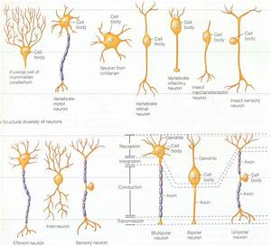 Neuron Transmission - Nerve