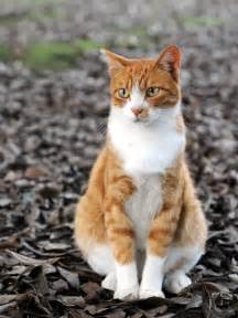 cat sitters file orange tabby cat sitting on fallen leaves hisashi 01a
