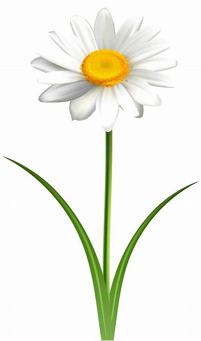 Daisy Clipart Transparent Flower Clip Daisies Background