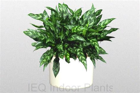Best Indoor Plants Brisbane, Zanzibar Gem Low, Light Plants