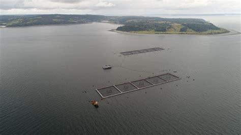 Fuga de salmones: Marine Harvest podría perder concesión