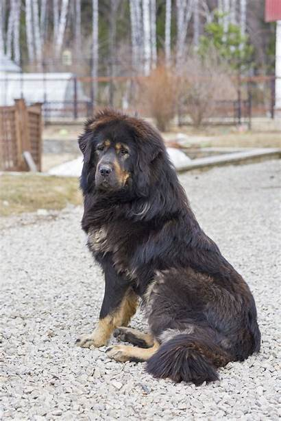 Mastiff Tibetan Types Dogs Bull