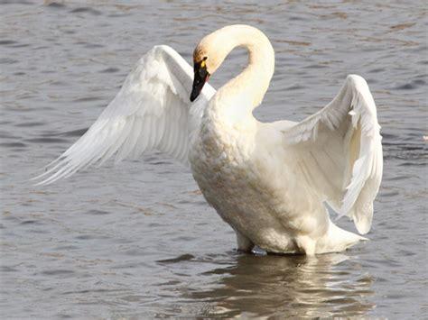 swan tundra swans bird birds scientific ecobirder columbianus cygnus am minnesota trumpeter mn water iowa mn09 2642 facts different feathers