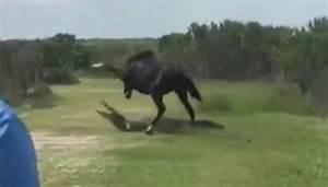 Video  Mad Horse Attacks Massive Alligator In Florida