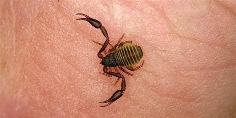 All The Bugs That Look Like Scorpions Insect Cop