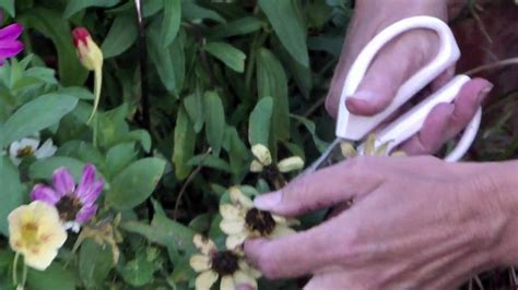 how to maintain petunias how to keep your petunias looking full and flowering youtube autos post