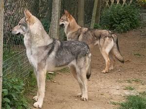 Wolf Like Dog Breeds - Dog Breeds