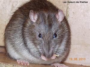 Comment Tuer Un Rat : tuer des rats rats sous les combles comment les radiquer ~ Mglfilm.com Idées de Décoration