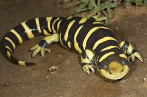 Smile Mon! The Happy Barred Tiger Salamander Featured