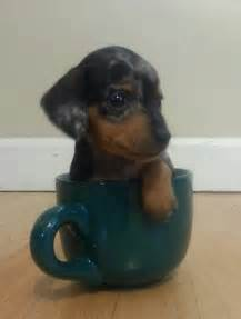 Cute Dachshunds Puppy Dog Pictures