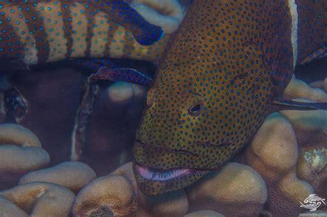 peacock grouper seaunseen photographs facts exploitation commercial
