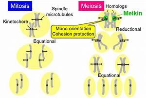 Master Regulator Of Chromosomal Segregation Identified