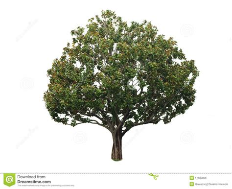 Tree Images No Background by A Tree With A White Background No13 Stock Photo Image Of