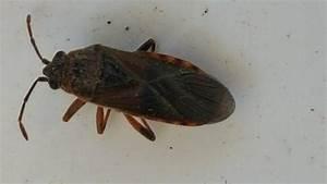 Insecte De Maison : arocatus melanocephalus insectes morts dans maison ~ Melissatoandfro.com Idées de Décoration