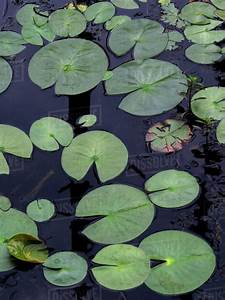 High Angle View Of Lotus Water Lily U0026 39 S Leaves Floating On
