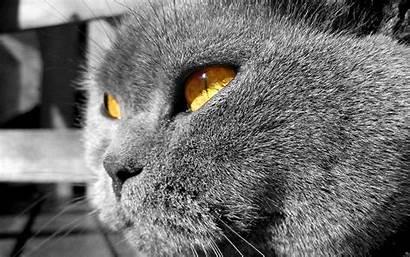 British Shorthair Cat Eyes Yellow Wallpapers Widescreen