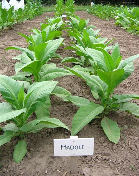 northwest tobacco seeds providing nicotiana seeds for