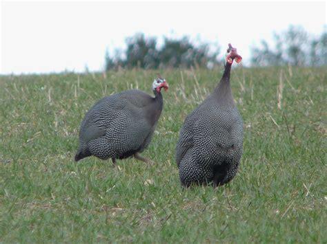big grey and white ground bird identify this