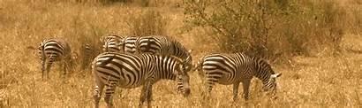 Zebra Wildlife African Short Plains Conservation Foundation