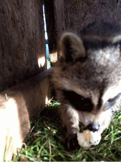 Wildlife Raccoons Rehabber Raccoon Shares Adorable Rehabilitation