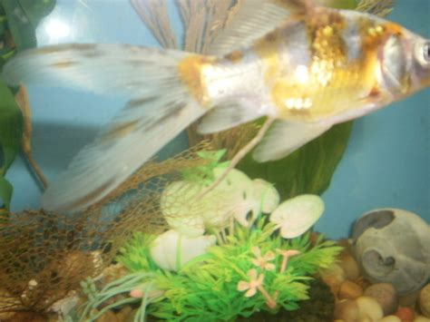 Lava L Fish Tank Walmart by Live Mosquito Larvae And Wheat Germ For My Goldies And How