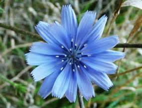 chicory   WINE FOR SOUL
