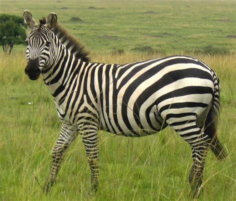 zebras animal info  pictures  wildlife photographs