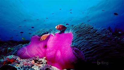 Australia Clownfish Reef Magnificent Skunk Pink Bing