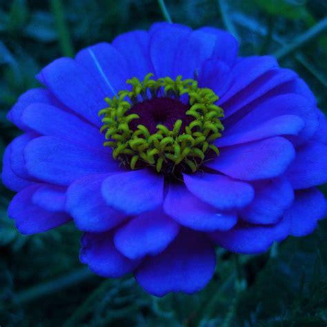 blue zinnia flower google search flowers blue
