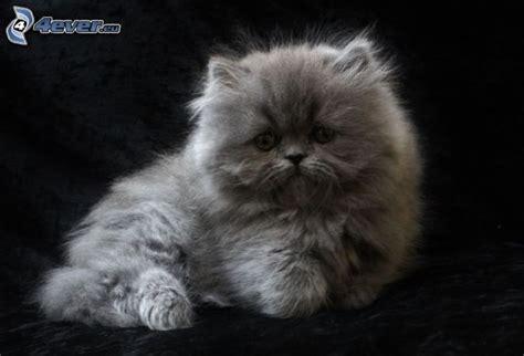 chat persan gris chat persan